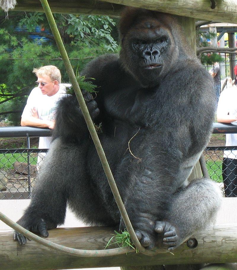 Edited Grayback ape